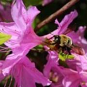 Bumblebee In Azalea Art Print
