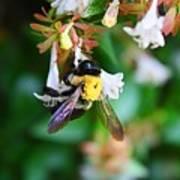 Bumblebee On Abelia Art Print