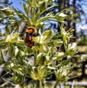 Bumblebee On Elkweed Blossoms Art Print
