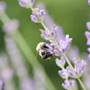 Bumblebee On The Lavender Field 2 Art Print