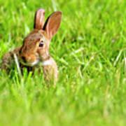 Bunny In Field  Art Print