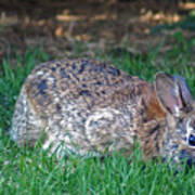 Bunny In The Backyard Art Print