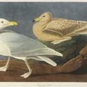 Burgomaster Gull Art Print