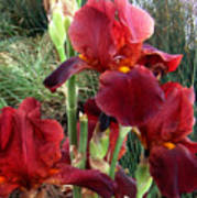 Burgundy Iris Flowers Art Print