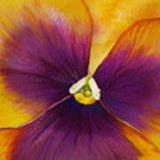 Burgundy Yellow Pansy Art Print