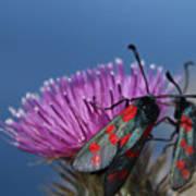 Burnet Moths Art Print
