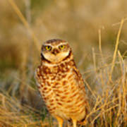 Burrowing Owl At Dawn Art Print