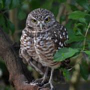 Burrowing Owl Color Version Art Print