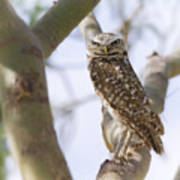 Burrowing Owl Perched On A Branch  Art Print