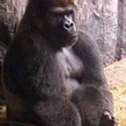 Busch Gorilla Art Print