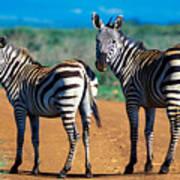 Bushnell's Zebras Art Print