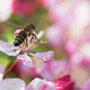 Busy Bee On A Crabapple Tree Art Print