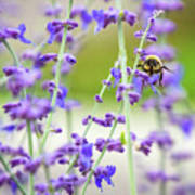 Busy In Lavender 3 Art Print