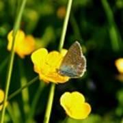 Buttercup Butterfly Art Print