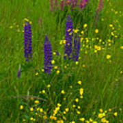 Buttercups And Lupines Art Print