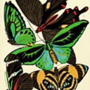 Butterflies, Plate-1 Art Print