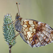 Butterfly - Meadow Satyrid Art Print
