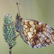 Butterfly - Meadow Satyrid Art Print