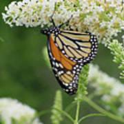 Butterfly 188 Art Print