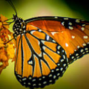 Butterfly 29 Art Print
