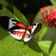 Butterfly-5 Art Print