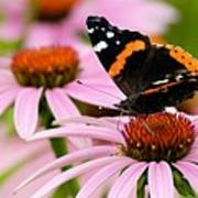 Butterfly And Cone Flowers Art Print