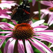 Butterfly And Pink Cone Flower Art Print