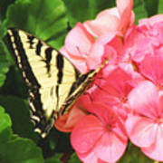 Butterfly And The Geranium Art Print