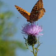 Butterfly And Thistle 1 Art Print