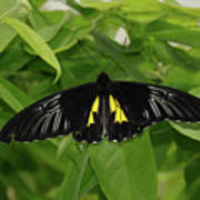 Butterfly Black And Yellow Art Print