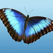 Blue Morpho Beauty Art Print