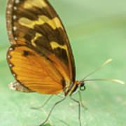 Butterfly Eueides Isabella Art Print
