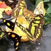 Butterfly Feast  Art Print
