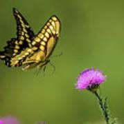 Butterfly In Flight Art Print