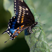 Butterfly Laying Eggs Art Print