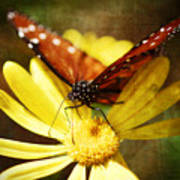 Butterfly On A Daisy  Art Print