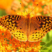 Butterfly On Butterfly Weed Art Print