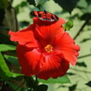 Butterfly On Hibiscus Art Print