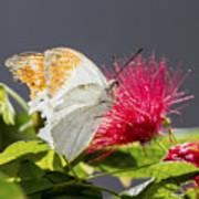 Butterfly On Magenta Flower Art Print