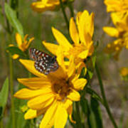 Butterfly On Mule's Ear Art Print