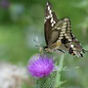 Butterfly On Thistle Flower Art Print
