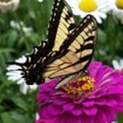 Butterfly On Zennia Art Print