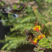 Butterfly Pas De Deux Art Print