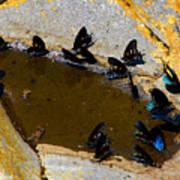Butterfly Pool Art Print