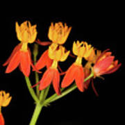 Butterfly Weed Art Print