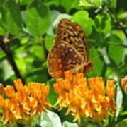 Butterfly Weed Fritillary Art Print