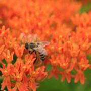 Butterfly Weed Heaven Art Print