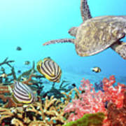 Butterflyfishes And Turtle Print by MotHaiBaPhoto Prints