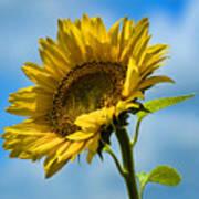 Buttonwood Sunflower 2 Art Print