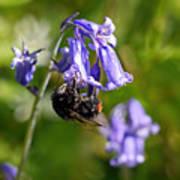 Buzzy Bee On Bluebells Art Print